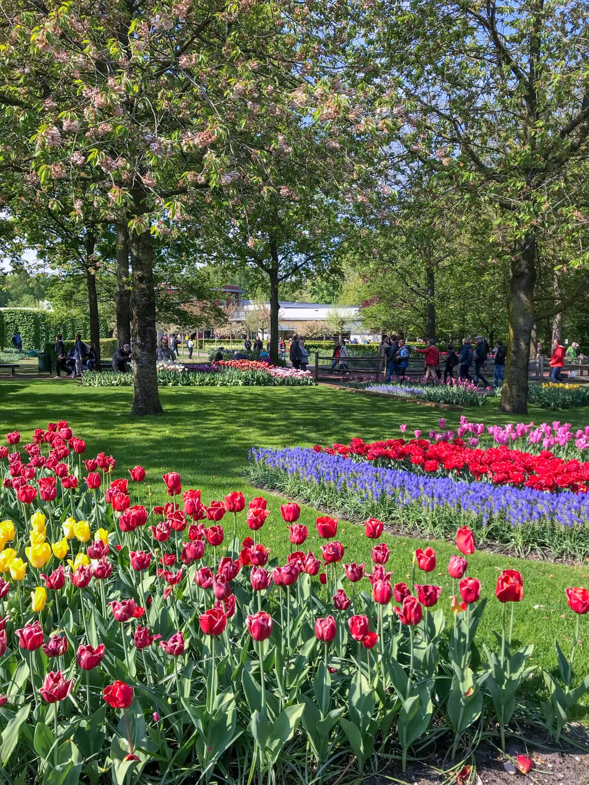 The inside of a park with many rows of tulips planted, in the foreground red and pink, and in the background purple, red, and pink. There are trees in the background and many people observing the tulips