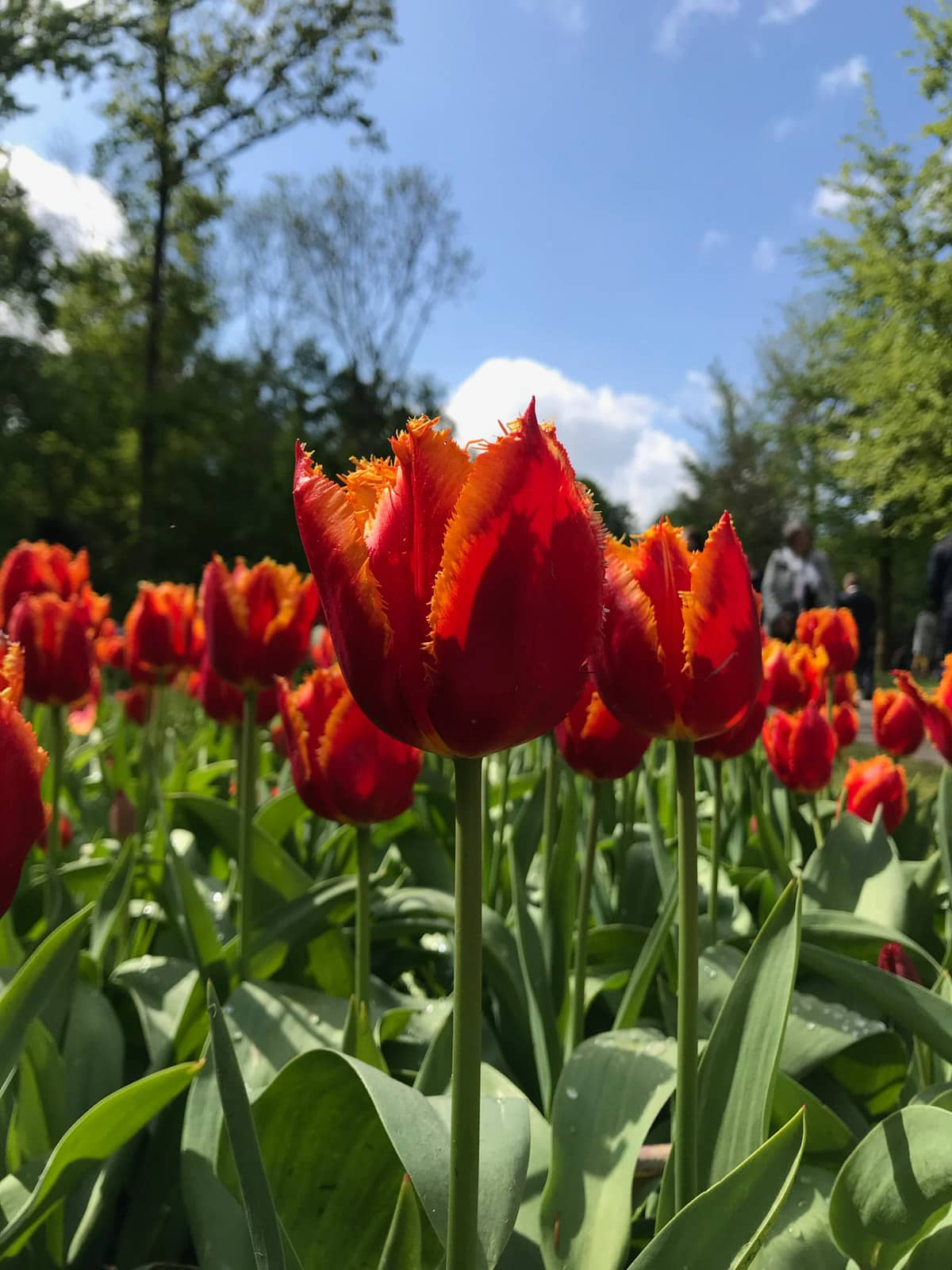 Orange-red coloured tulips at eye level, with their stems visible. The sky in the background is blue and relatively clear.