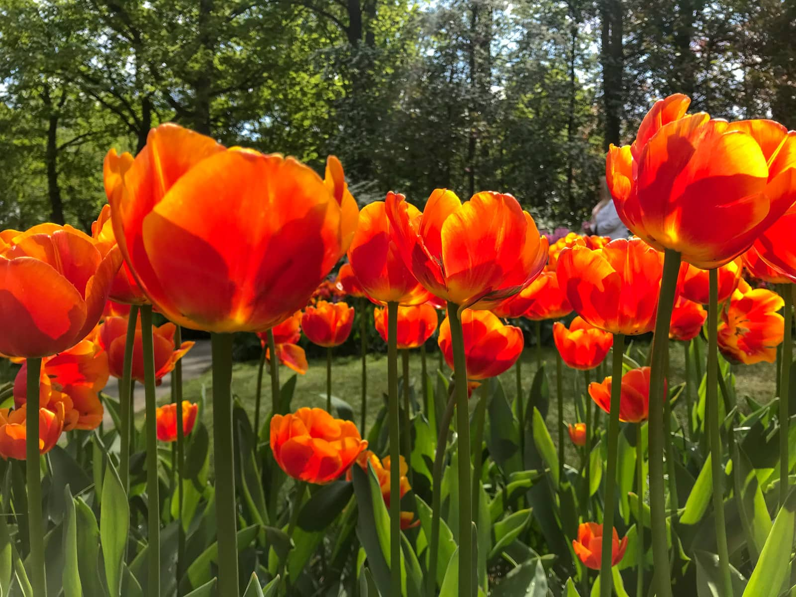 Bright orange tulips at eye level, with the tulips taking up much of the frame. Trees can be seen in the background.