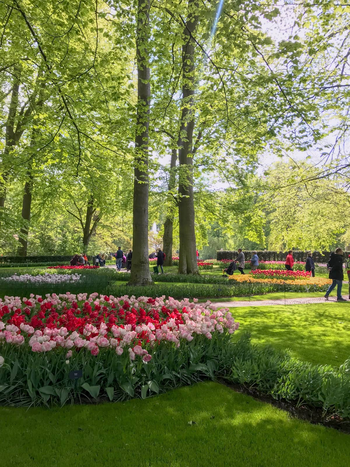 A garden with green lawns and paved walkways. There are a number of pink and red tulips planted, and tall trees with long trunks in the background.