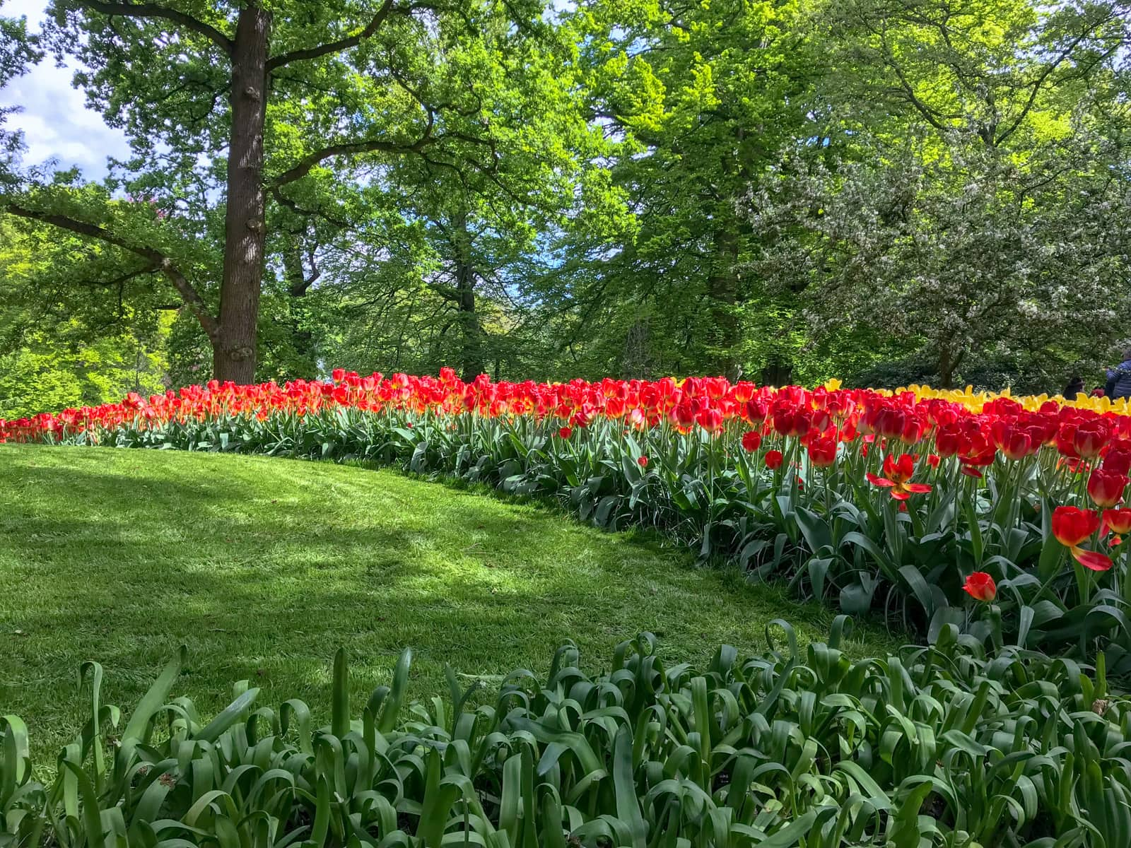 Long rows of red tulips stretching from the bottom right of frame to the top left of frame. The garden they are planted in is lush and green.