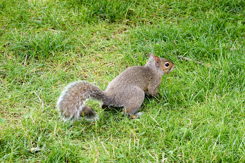 A brown squirrel in green grass