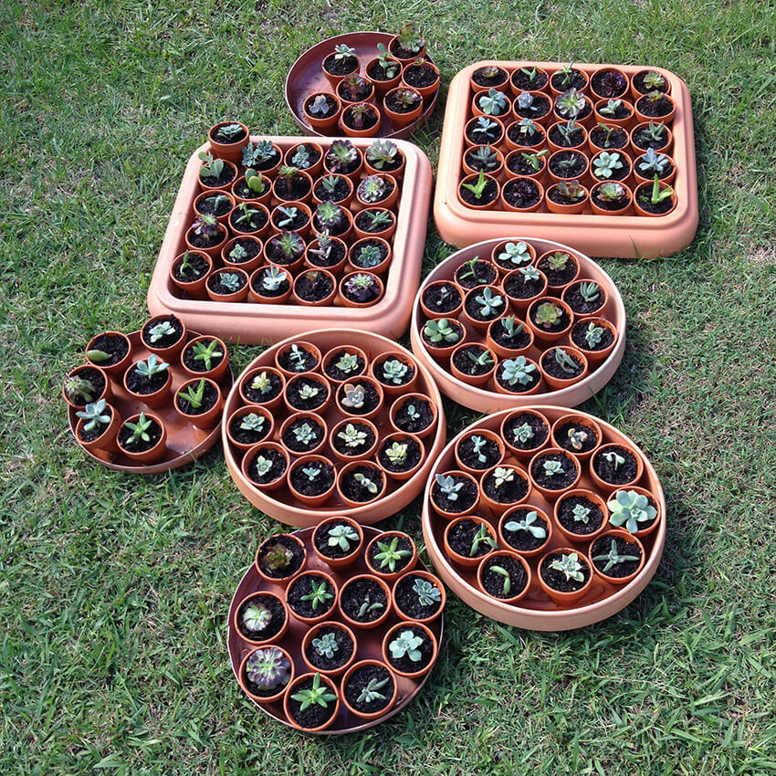 Large round and square trays sitting on grass, each tray full of small terracotta pots with succulents in them