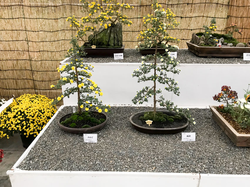 Small plants with yellow flowers sitting in shallow round trays, atop a bed of small grey rocks