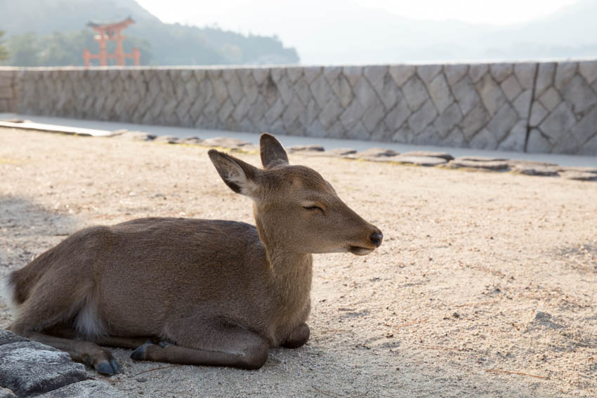 A deer sitting on the ground with its eyes partially shut