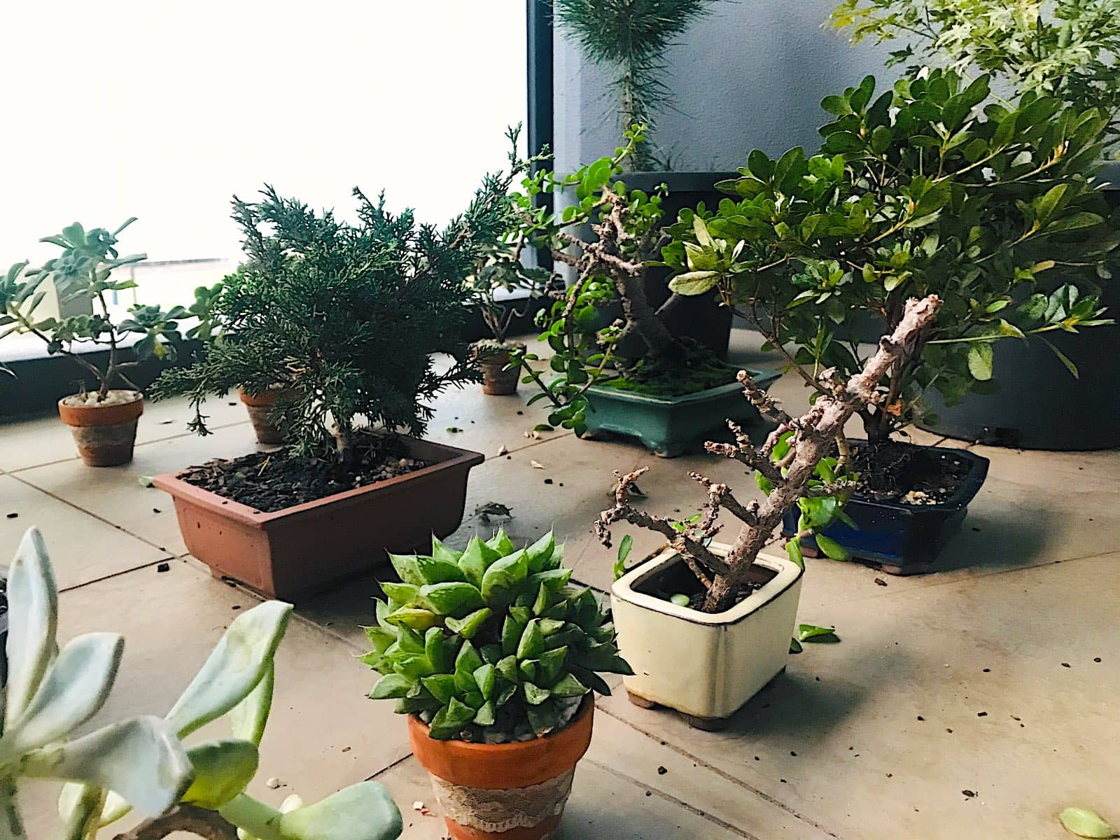 A number of potted plants close together, mostly succulents and bonsai