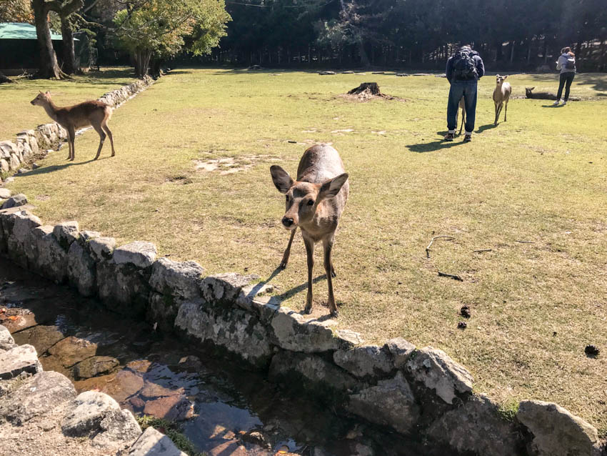 A deer on the other side of a small moat