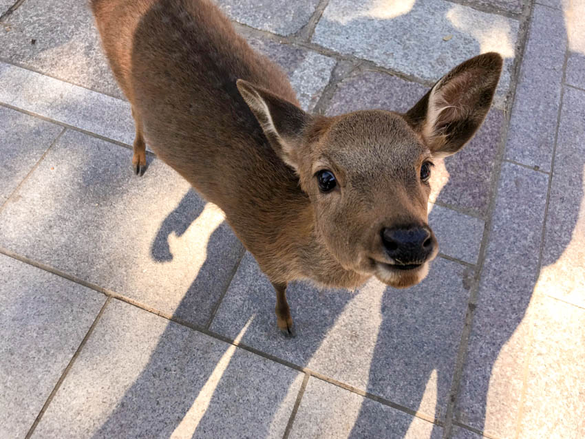 A close up, birds-eye view of a deer with its eyes wide open