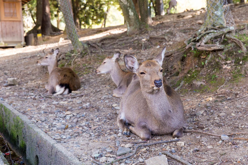 A deer, amongst other deer, sitting with its eyes squinted