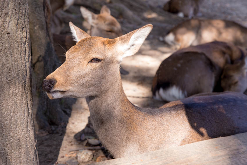 Close up of a deer sitting down on the ground and peering into the distance
