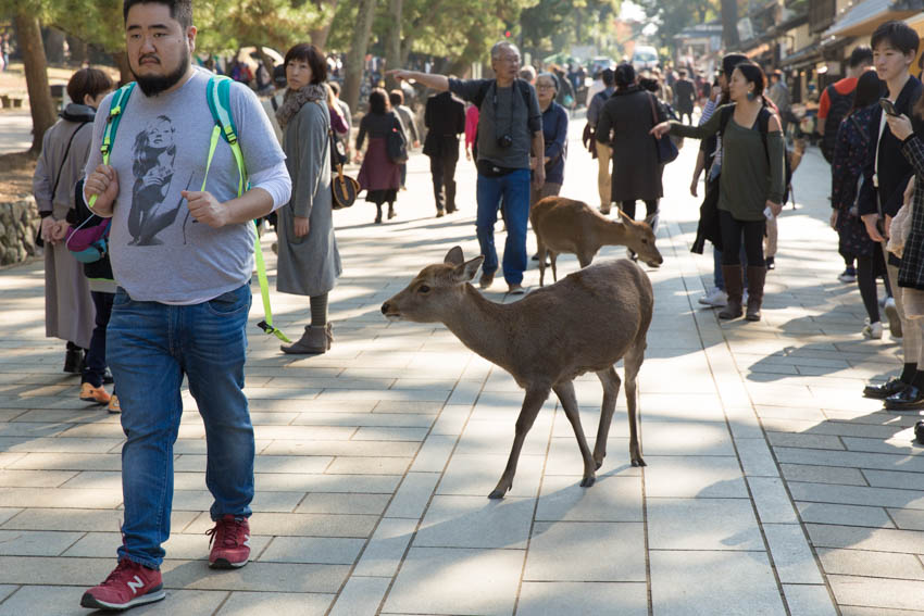 Deer walking amongst the crowds in the pedestrian area