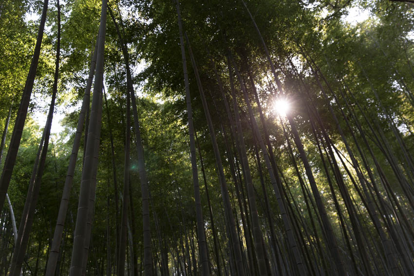 A low angle view of the bamboo trees
