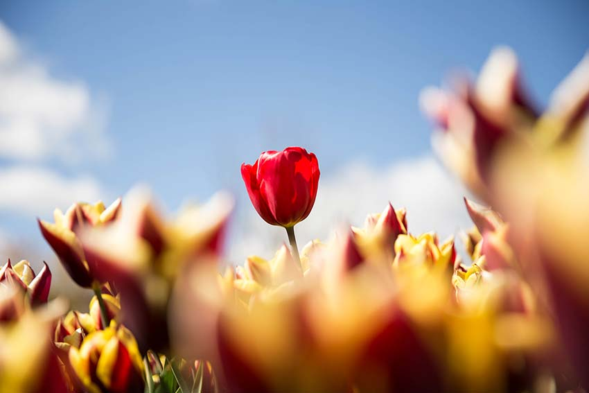 A photo of tulips that I took at the tulip festival in Southern Highlands a couple years ago