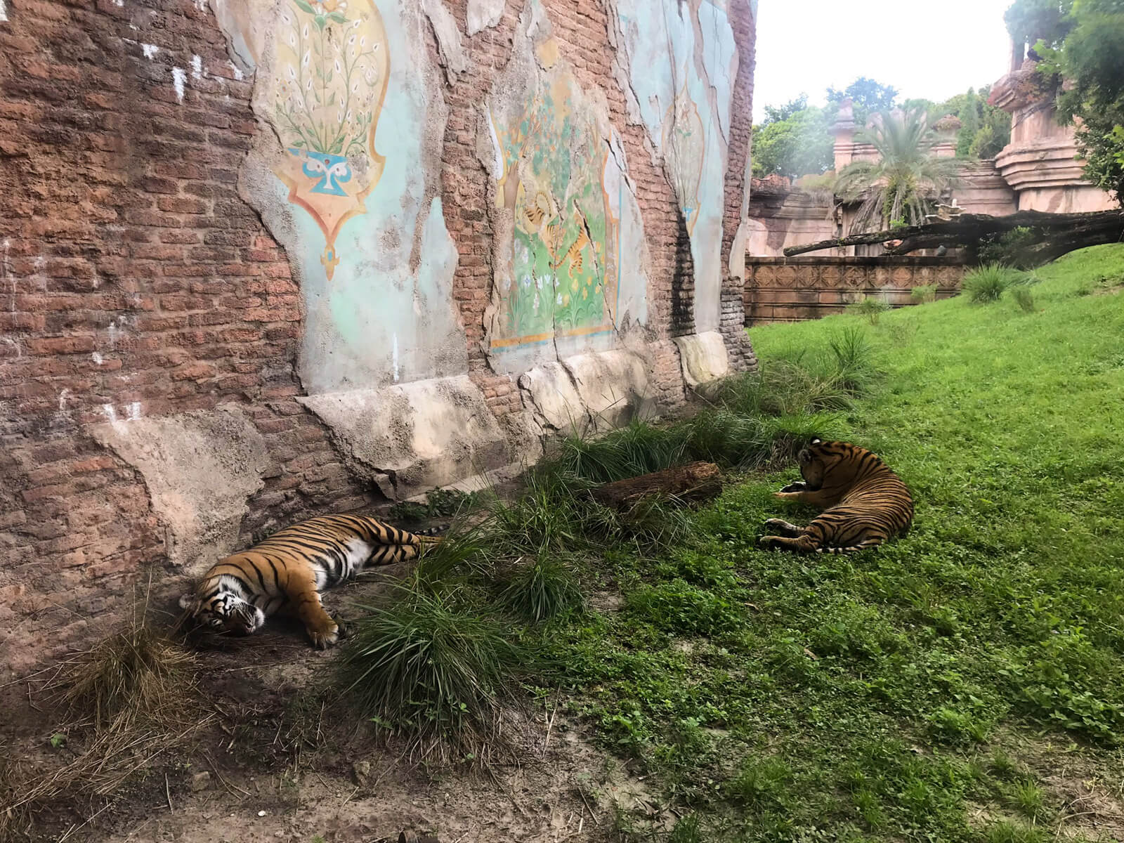Two orange and black tigers lying lazily in some grass by a large brick wall