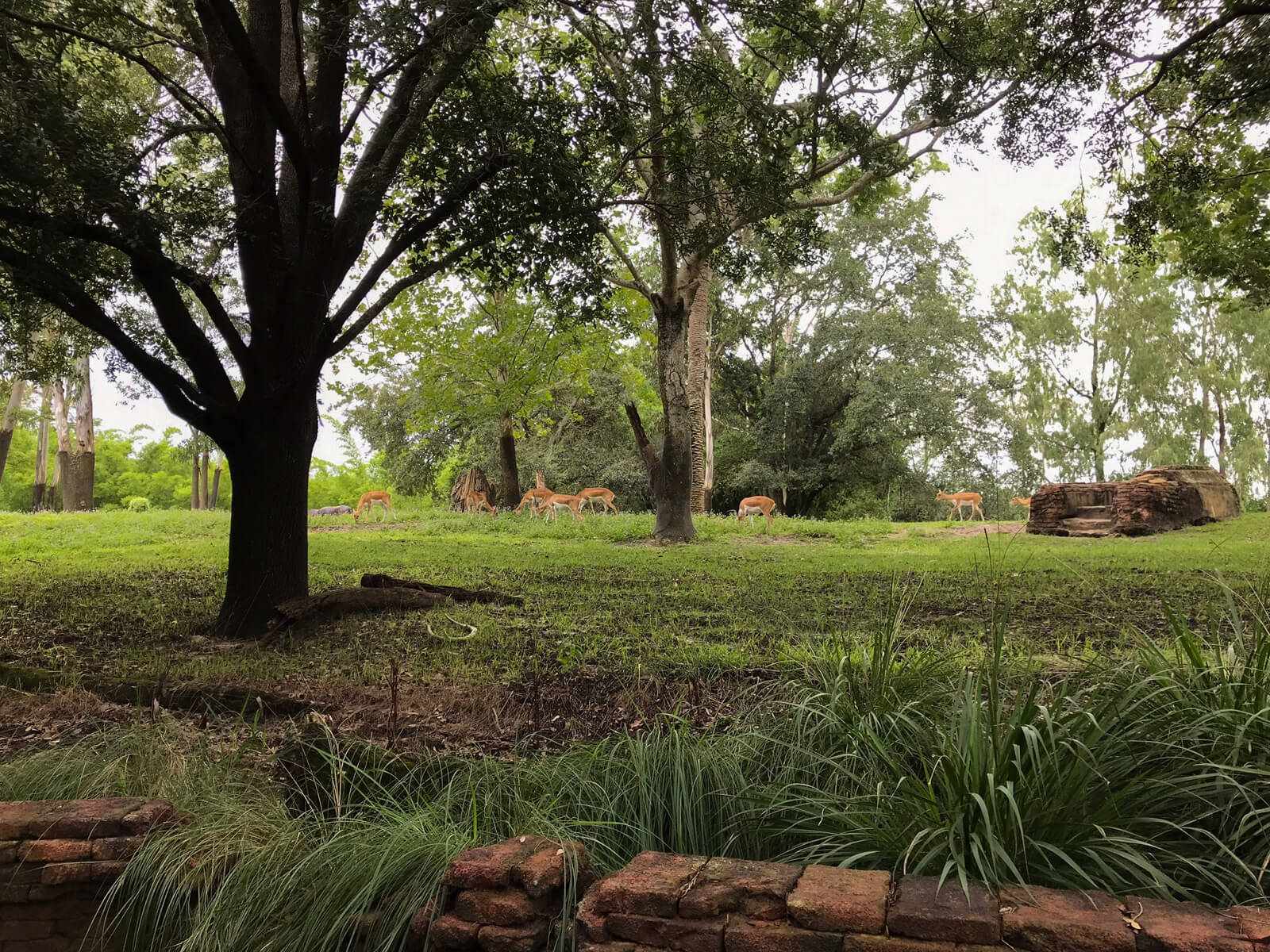 A grassy area with several trees and some antelope in the distance