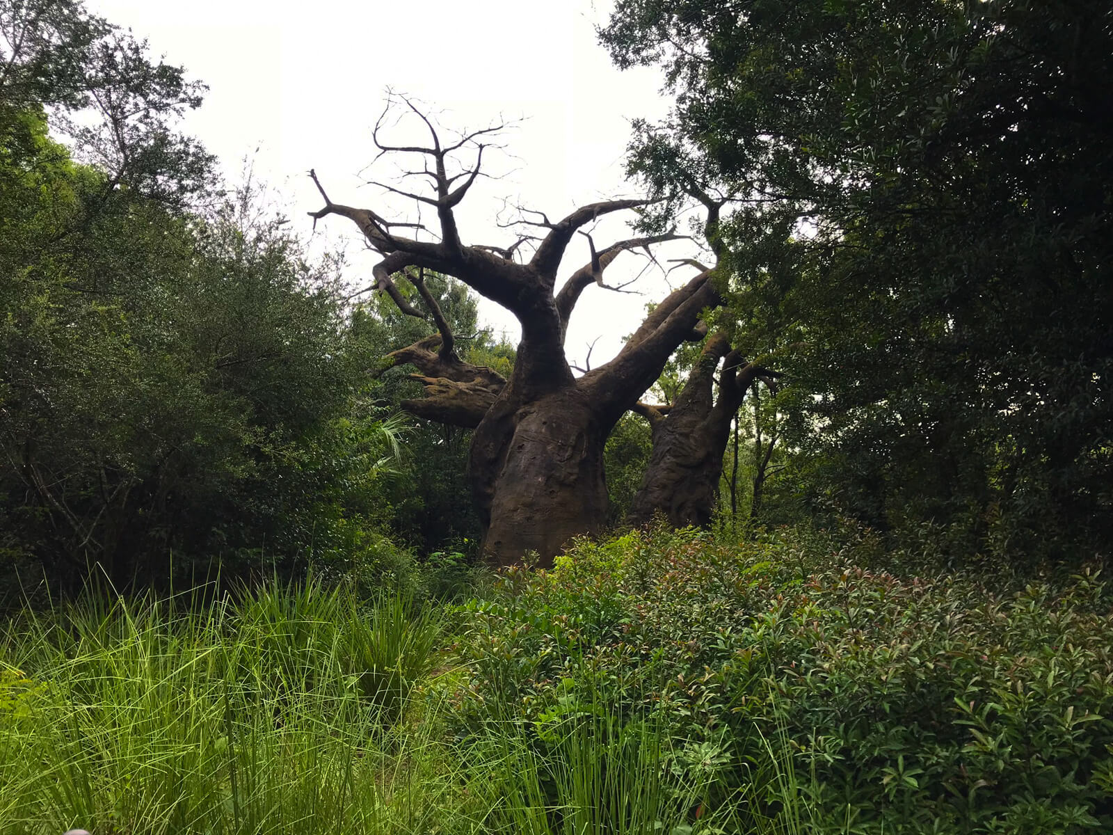 A large tree looking like an upside-down tree with its roots in the air. It is surrounded by tall grass