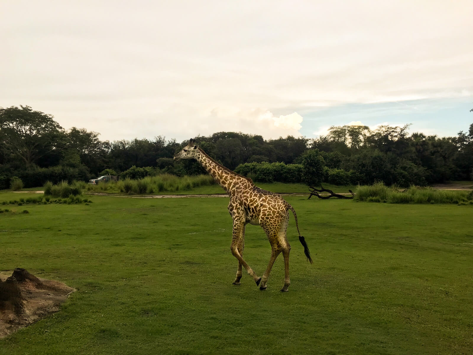A giraffe walking across mowed green grass