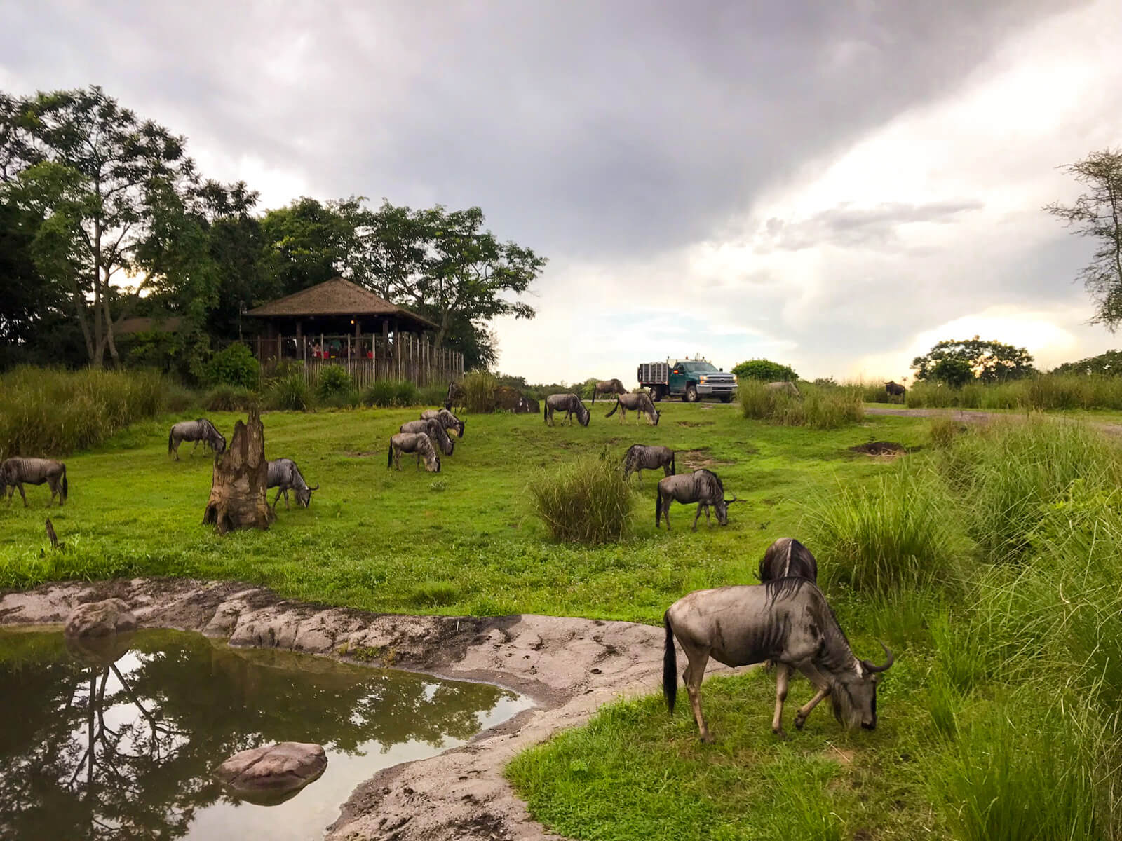 Grey horned creatures grazing in green grass on a cloudy day. In the foreground is a pond filled with dark green water.