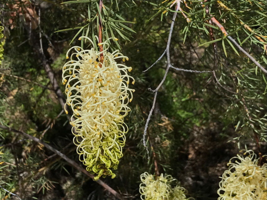 Yellow Prickly Plume Grevillea, up close