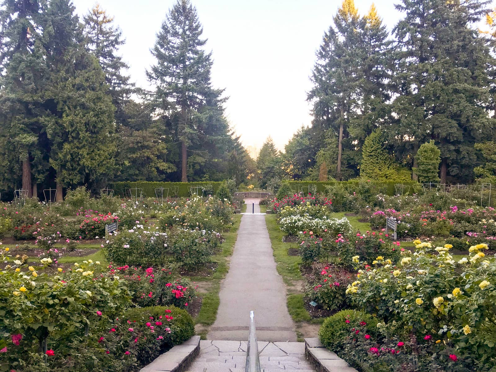 A concrete path going through arrangements of shrubs of roses.