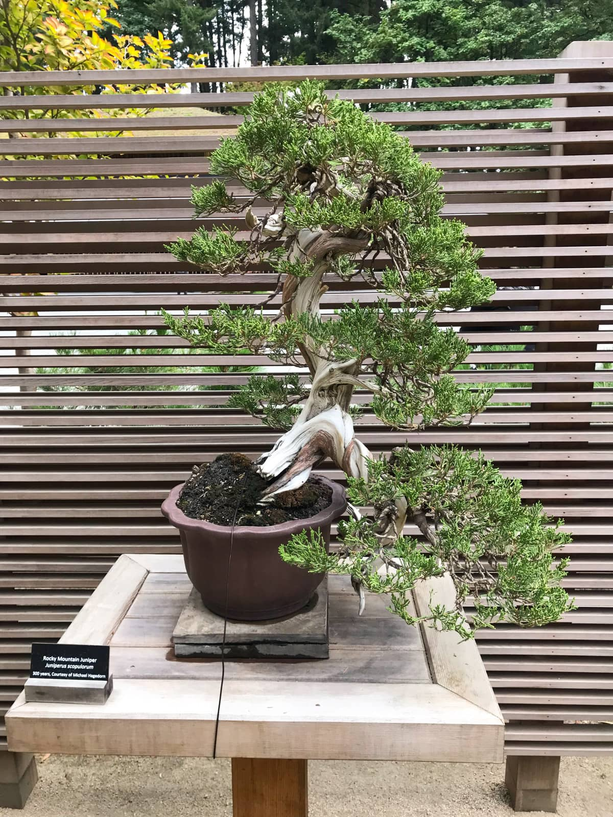 "An intricate junipter bonsai, on display in a brown pot. A small plaque next to it reads ""Rocky Mountain Juniper"" and indicates that it is 100 years old"