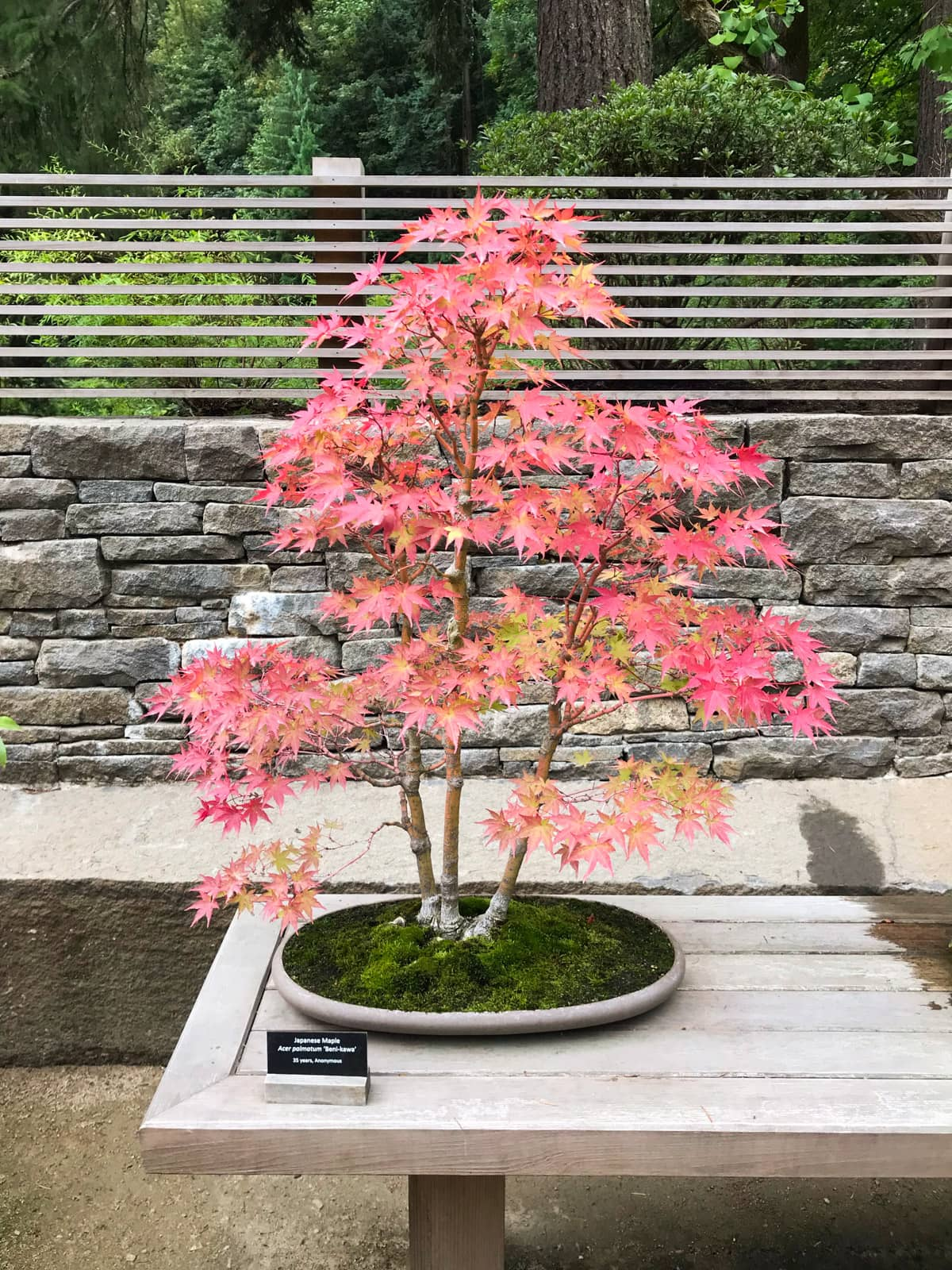 A Japanese maple, with coral red leaves, presented in a shallow plate with green moss. A small plaque next to it indicates that it is 15 years old