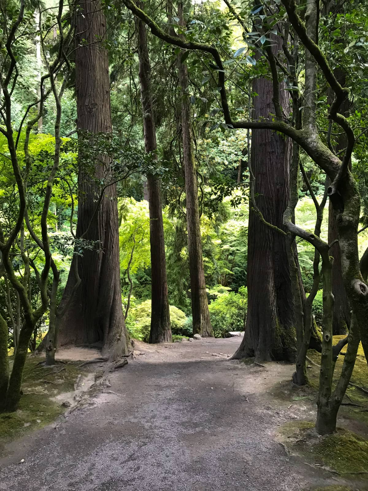 A path between the tall trunks of many trees, resembling a forest