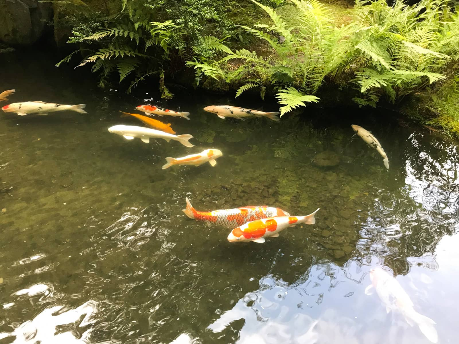 Orange and white koi fish in a pond with dark green-brown water