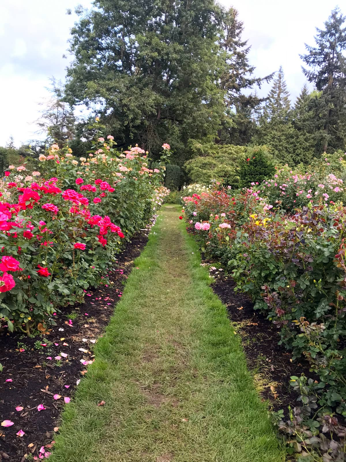 A grassy path going between two plots of rose bushes