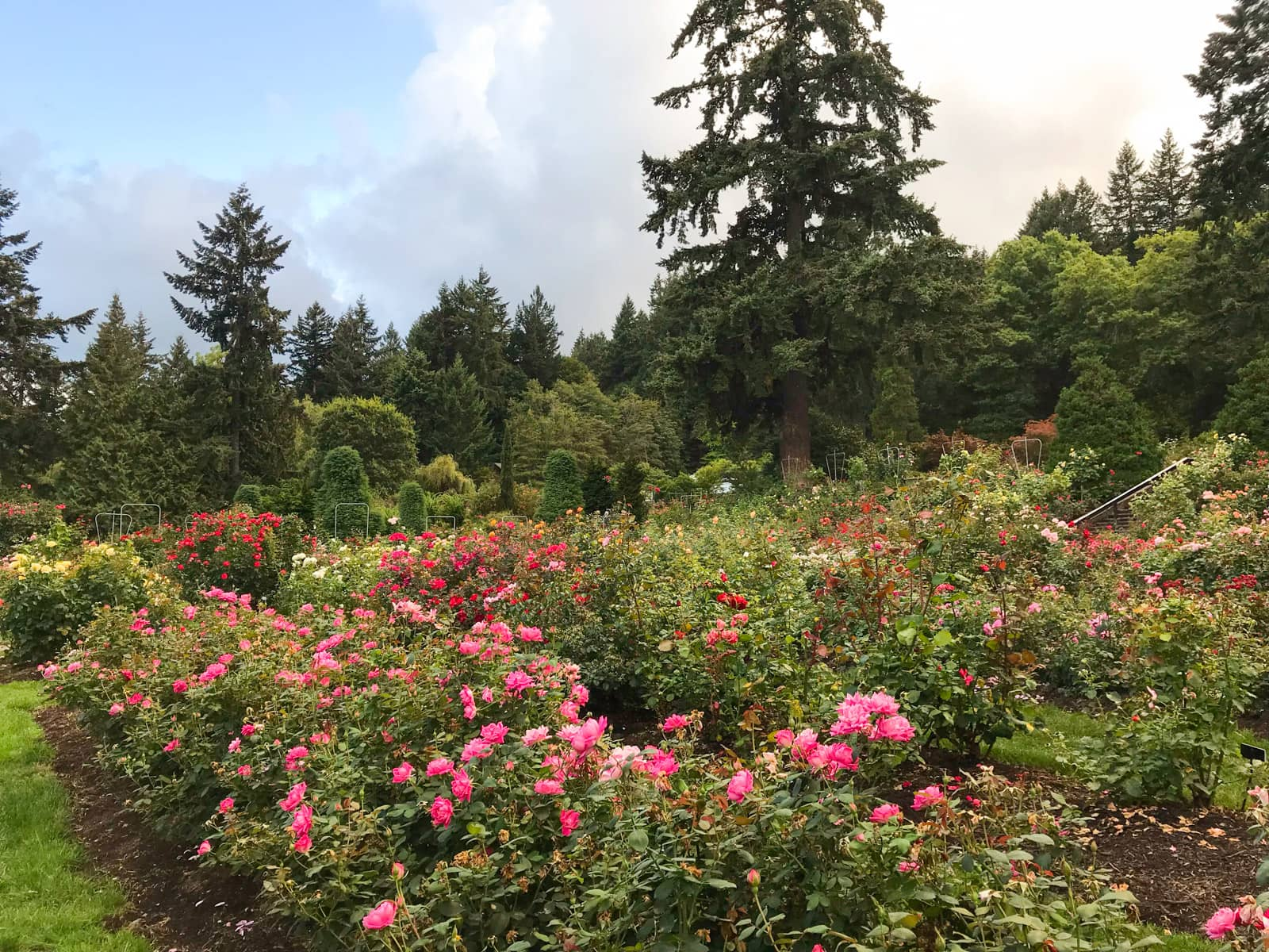 A large rose garden with many rose bushes planted tightly together, in various shades of red and pink