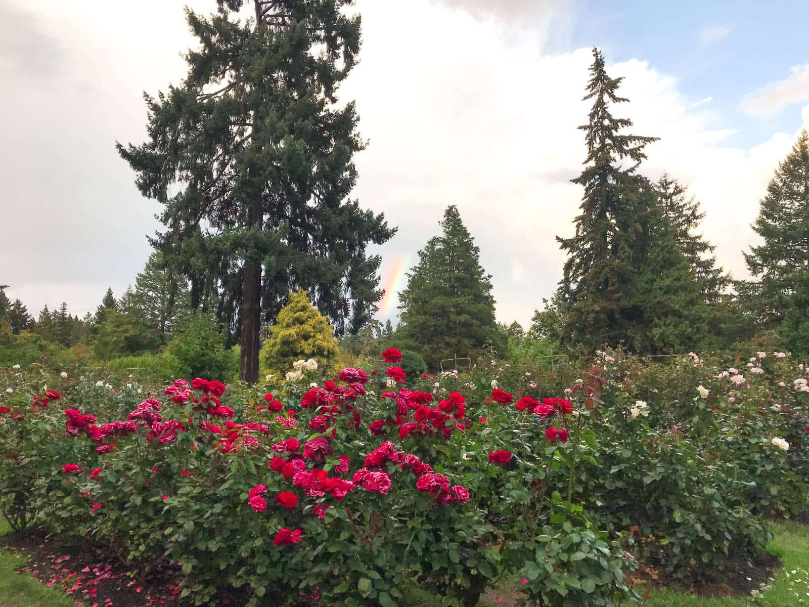 A rose garden with many red and deep pink roses. Big pine trees are visible in the background, with a small sliver of a rainbow appearing in the clouds between the trees