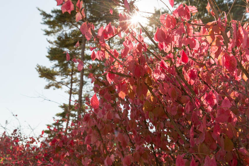 Pink/red fall leaves on a tree