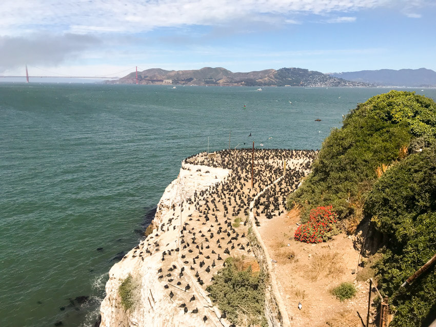 A high view of the yellow cliff face on an island, hundreds of black birds gathered on the cliff face. In the background is the green ocean on a slightly cloudy day.