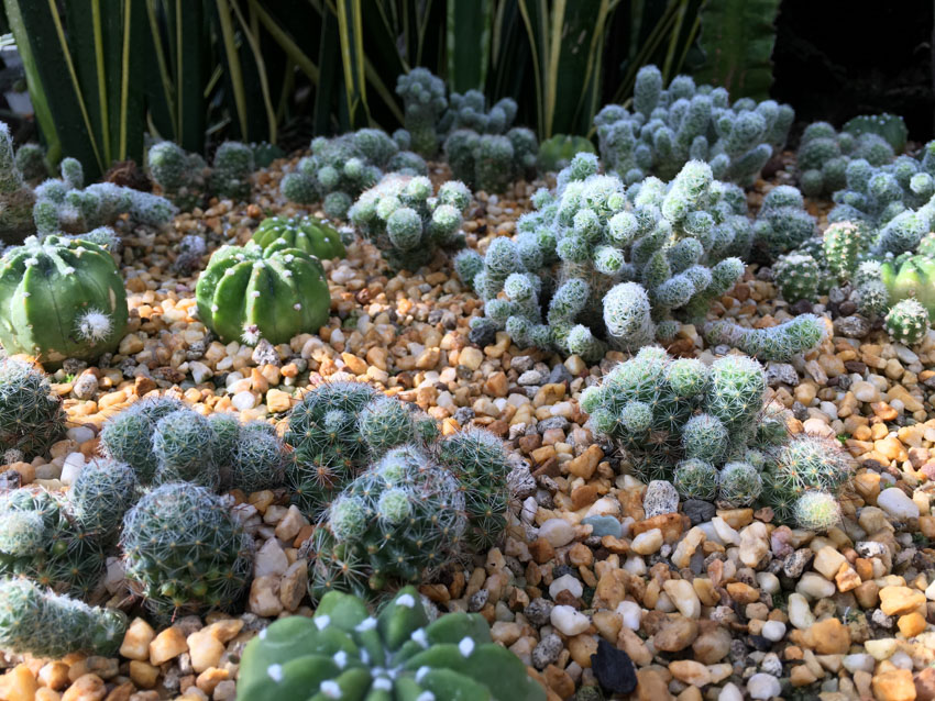 A group of succulents, little cacti, planted nicely amongst little pebbles