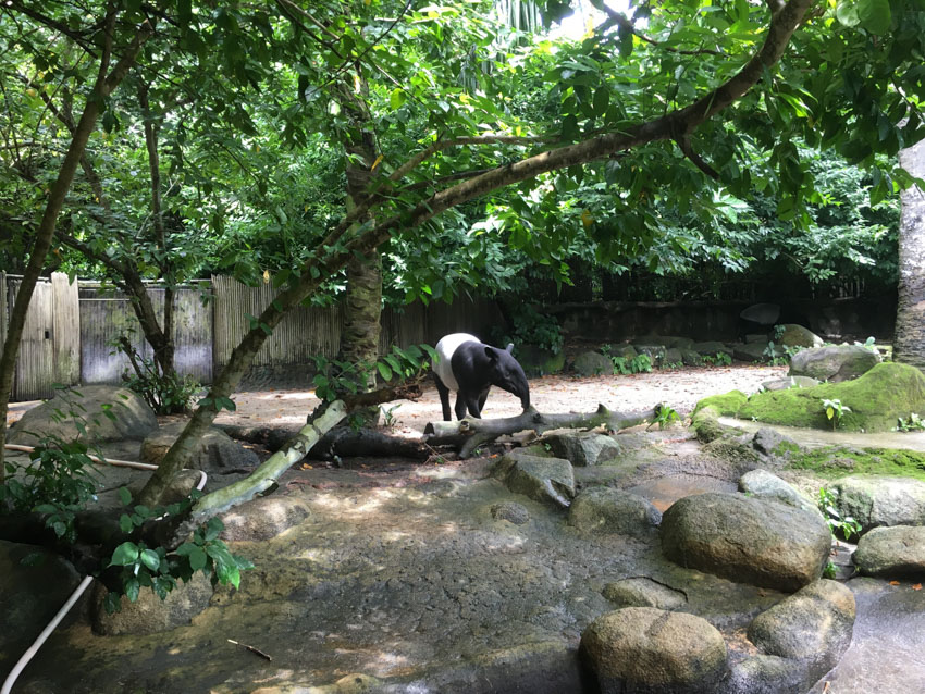 A black and white tapir