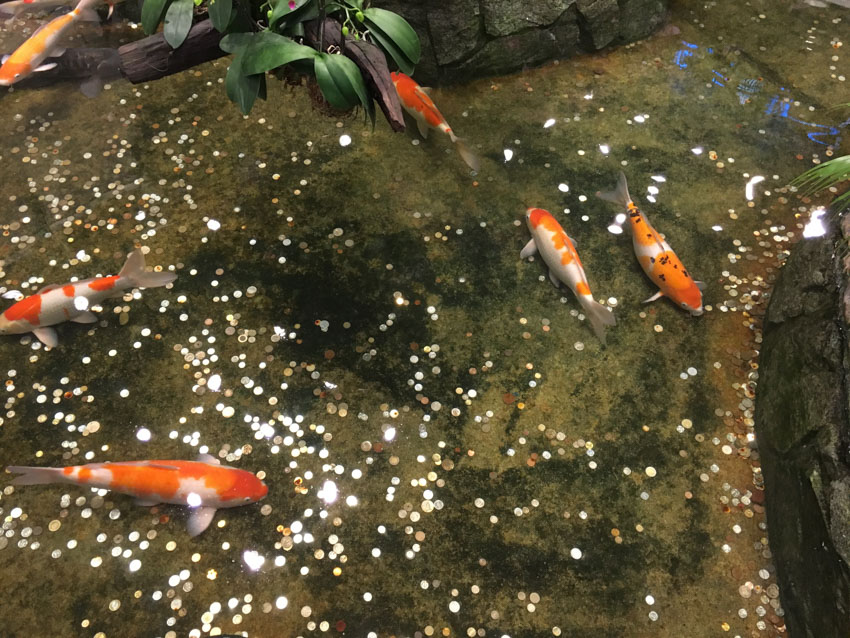 Koi fish in a pond with coins people have thrown in the water
