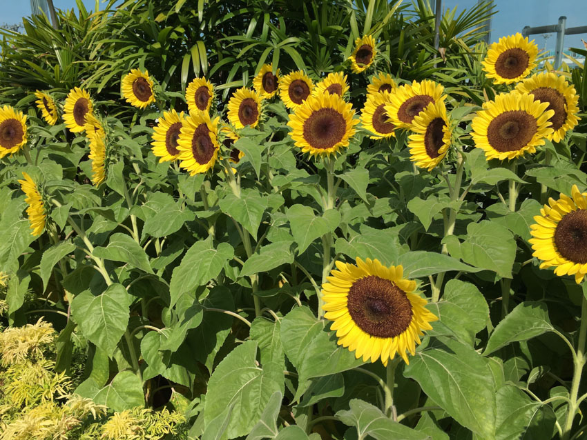 Sunflowers in the sunflower garden in Changi Airport