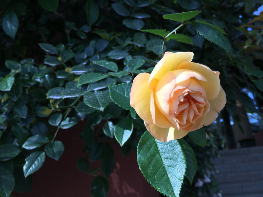 A pale orange coloured rose