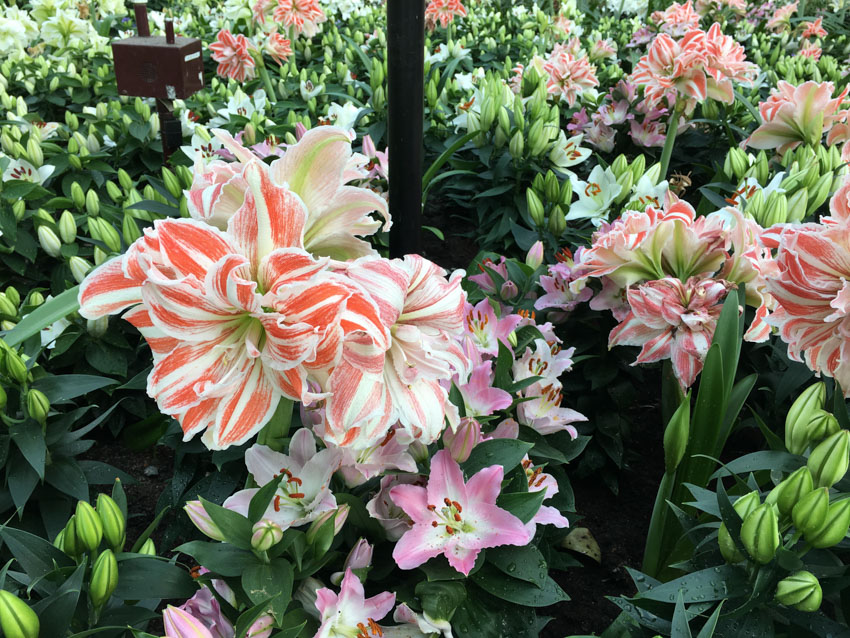 Some orange-and-white tiger-looking lilies
