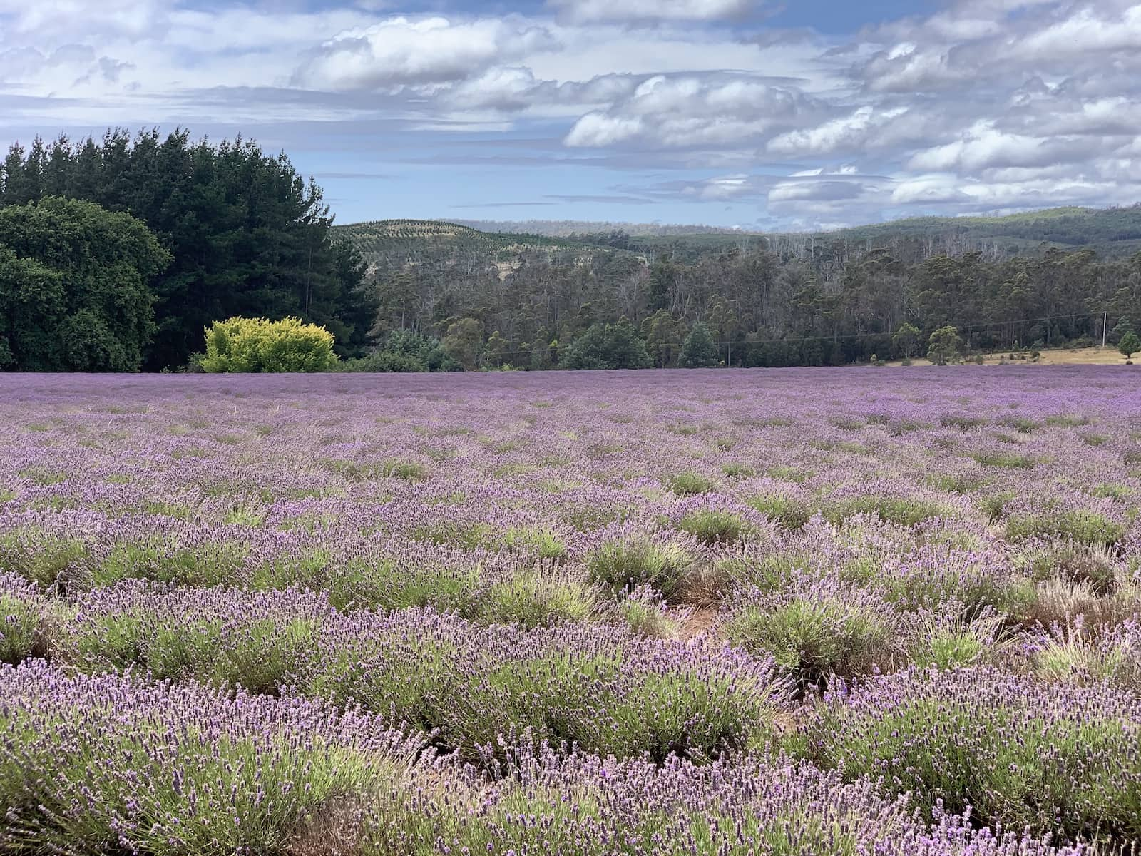 Another view of the lavender fields from previous photos, but photographed to all appear more closely planted