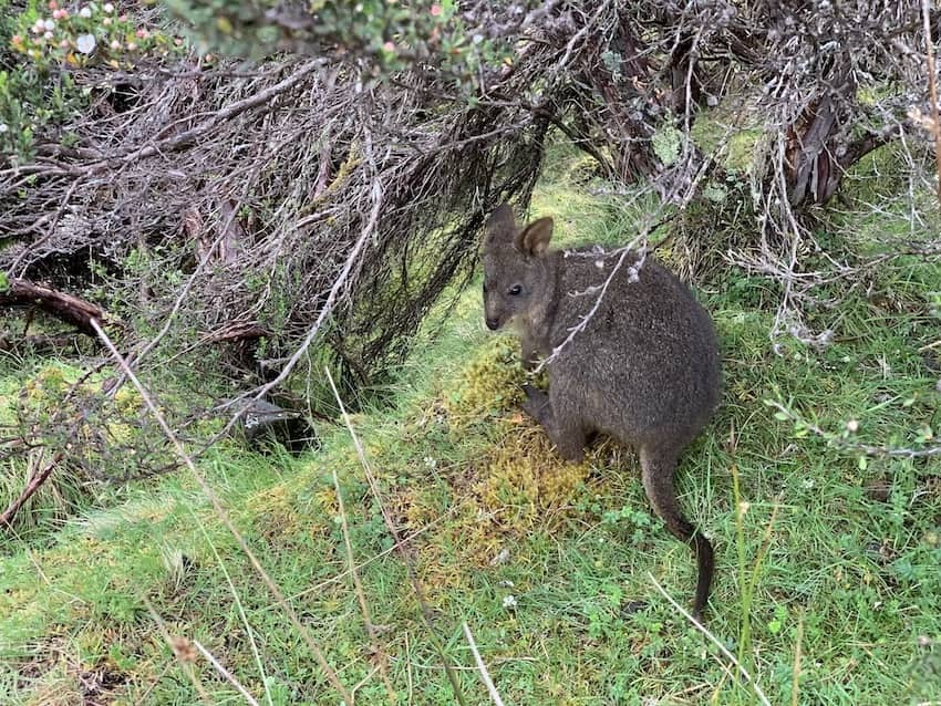A small wallaby on a grass, just beneath some barren shrub