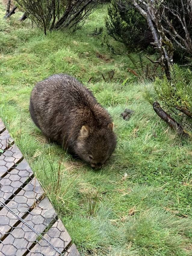 A wombat nibbling at grass