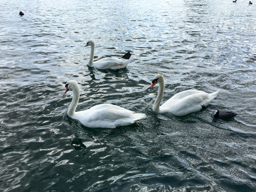Close up of three swans on the water
