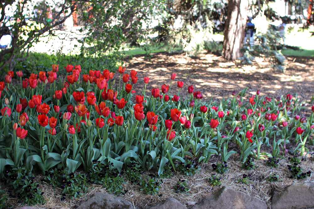 Red tulips are my favourite.