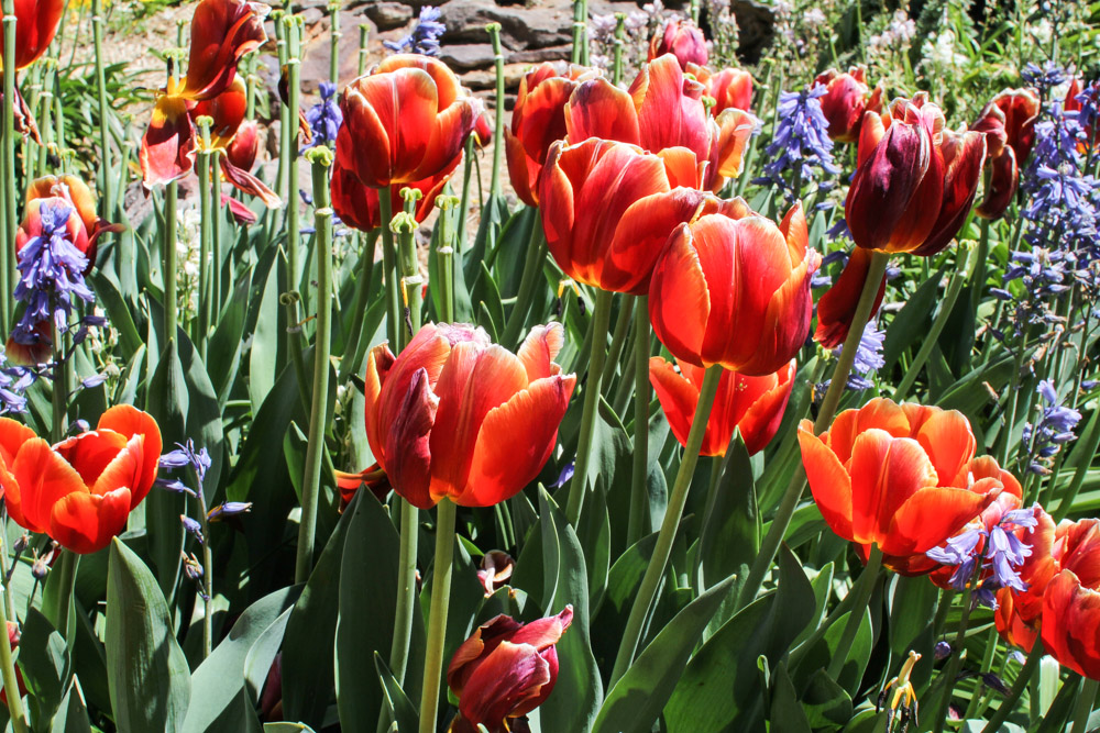 Pretty red-orange tulips