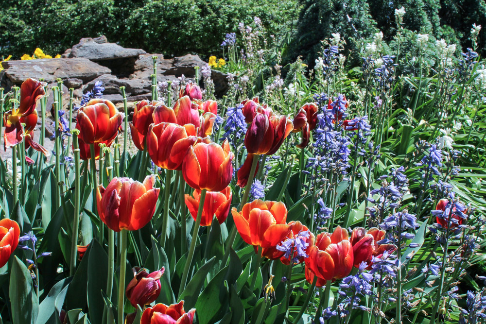 Tulips among some other flowers.