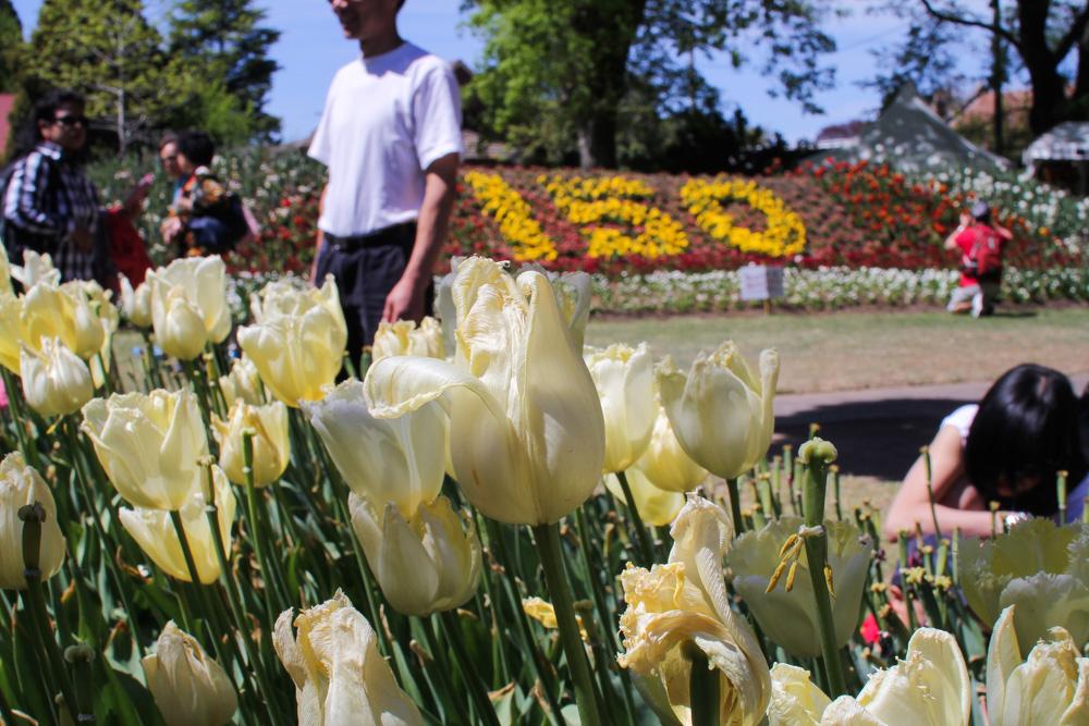 Cream coloured tulips
