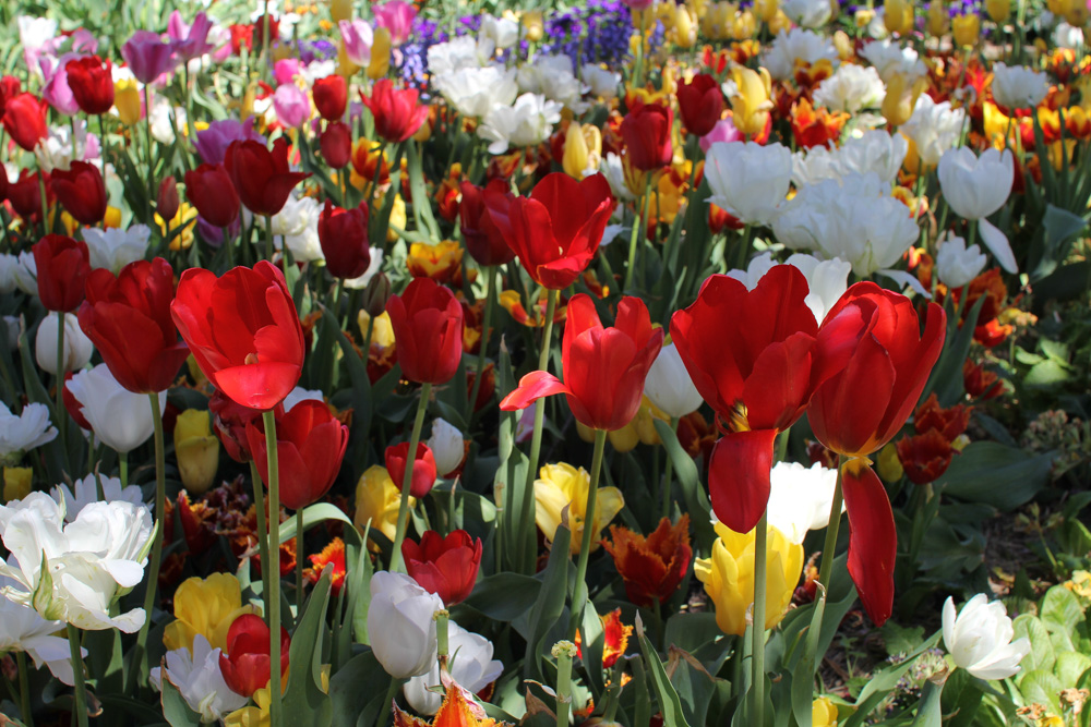 More and more pretty tulips