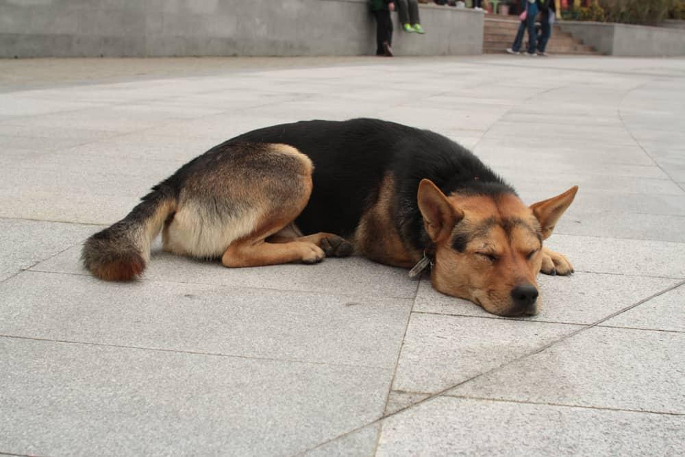 A flat dog!