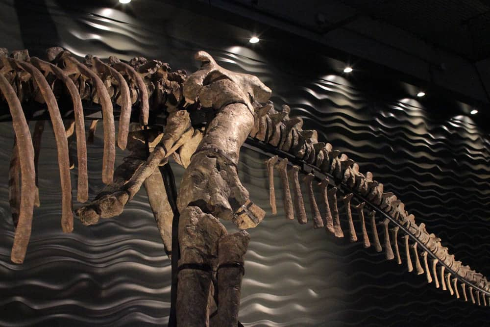 Huge dinosaur skeleton